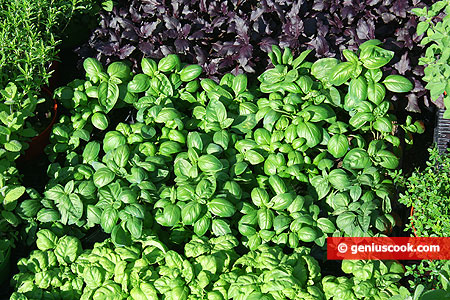 Purple and green basil