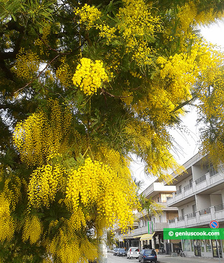 Mimosa is blooming