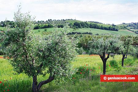 Olive trees - Italian landscape