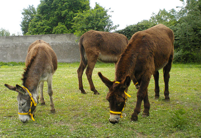 Grazing donkeys