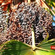 Palm Oil: Helpful or Harmful?